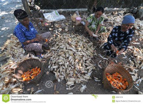 Feed Indonesia peeling a corn editorial stock image image 43957519