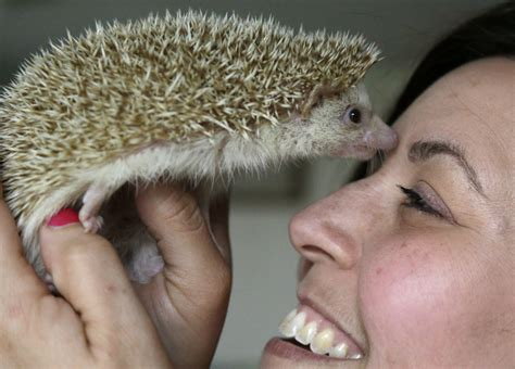 maine students lobby for prickly cause keeping hedgehogs as pets portland press herald