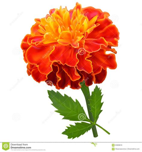 marigold cartoons illustrations vector stock images
