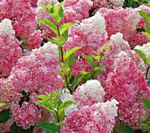 strawberry vanilla hydrangea garden pinterest