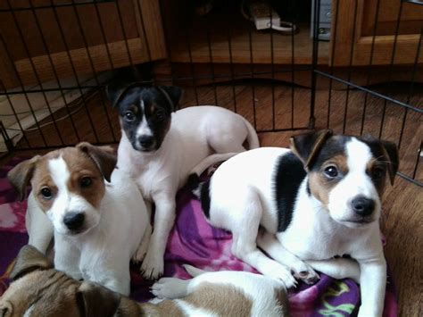 parson puppies for sale parsons s puppies for sale cleethorpes lincolnshire pets4homes
