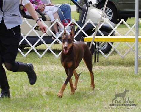 mystis salon in memphis mystique dobermans show dogs rio grooming school and