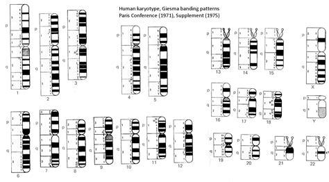 banding pattern en francais chromosome banding banding chromosome