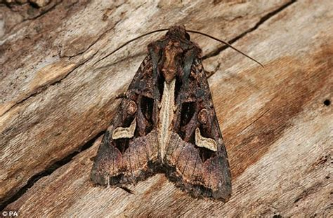 moths wreaking havoc after mild winter and early