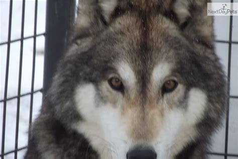 german shepherd puppies omaha timber wolf german shepherd puppies