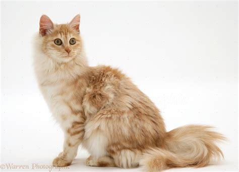 foto gambar wallpaper kucing hutan anggora