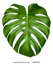 tropical leaves stock photos images pictures