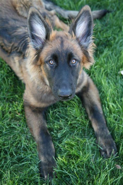 blue shepherd puppies the 25 best blue german shepherd ideas on german shepherd pups jerman