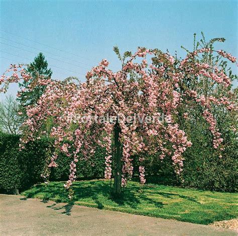 prunus da fiore prunus kiku shidare zakura