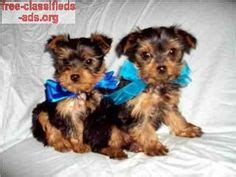 yorkie puppies for sale in rapid city sd ckc tea cup and terrier puppies 8 weeks only pets