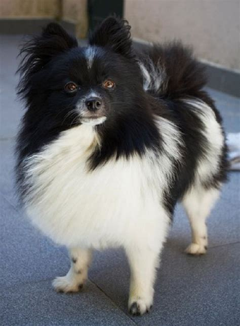 black and white parti pomeranian white and black pomeranian puppies zoe fans baby animals