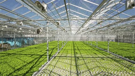 Big Greenhouses by A Large Greenhouse A Lot Of Rows Of Plants Stock