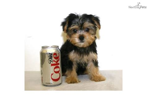 teacup yorkie cost pin terrier teacup price on