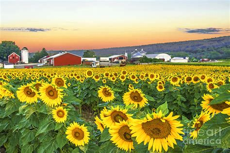 sunflower field sunflowers at sunrise photograph by regina geoghan