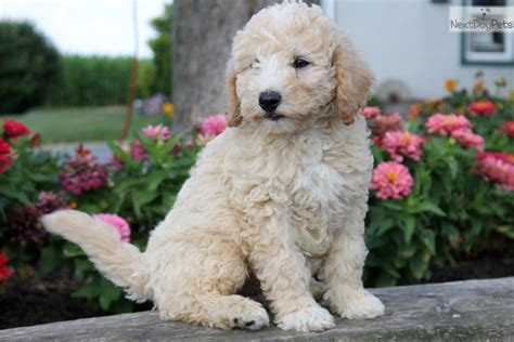 labradoodle puppies for sale near me labradoodle puppy for sale near lancaster pennsylvania 9c86699b 3341