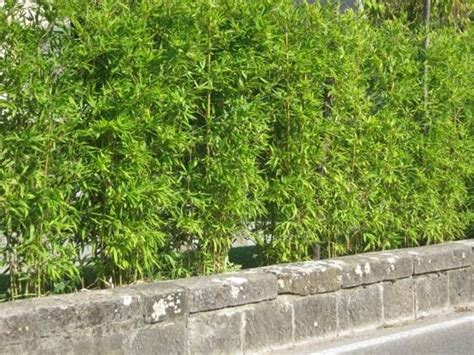 siepi da vaso per terrazzo piante siepi sempreverdi siepi piante per siepi