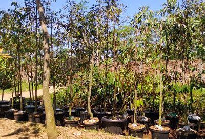 Bibit Durian Bawor Kediri bibit tanaman murah jual bibit durian di subang