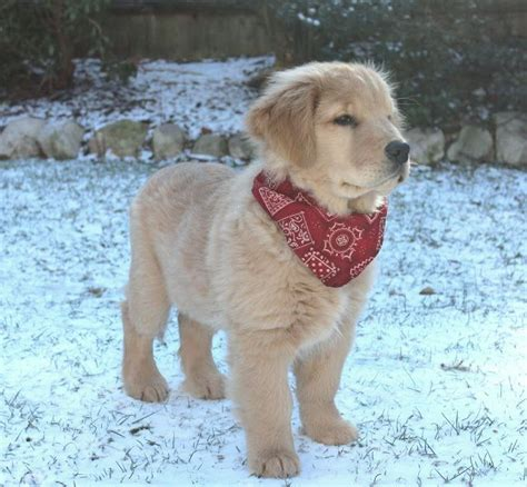 golden retriever handkerchief clyde 3 months golden retriever puppy puppies doggies so and