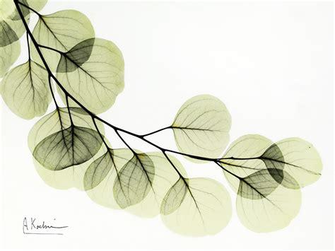 albert koetsier eucalyptus by albert koetsier susan spiritus gallery