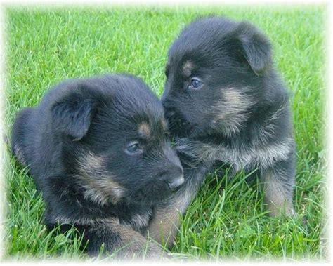 german shepherd puppies for adoption in michigan titled pedigree akc ddr schutzhund german shepherd puppies for sale adoption from