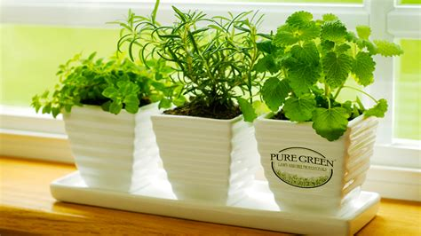 herbs indoors tips for growing herbs indoors pure green lawn care