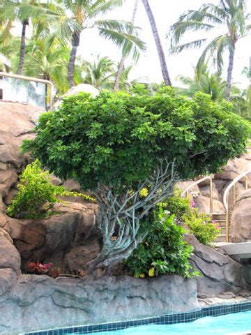 tropical umbrella shrub schefflera arboricola urban tropicals