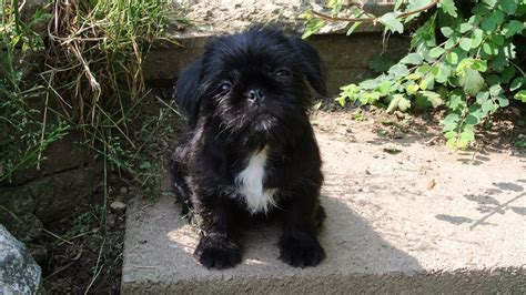 shih tzu pug mix breed beautiful pug x shih tzu halesowen west midlands pets4homes