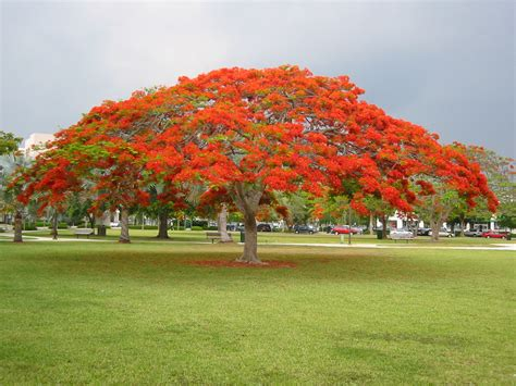 Garden Poinciana by Royal Poinciana Or Flamboyant Tree Delonix Regia
