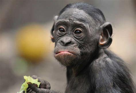 alimentazione scimmie la dieta delle scimmie animal