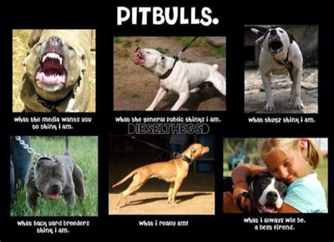 Pitbull Puppy Meme - the 24 most annoying pit bull memes betabeat