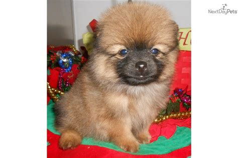 pomeranian puppies for sale chicago pomeranian puppy for sale near chicago illinois 5b0d7d54 7c11