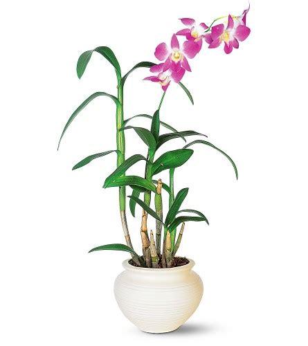 Tanaman Hias Anggrek Cattleya Cl tanaman anggrek
