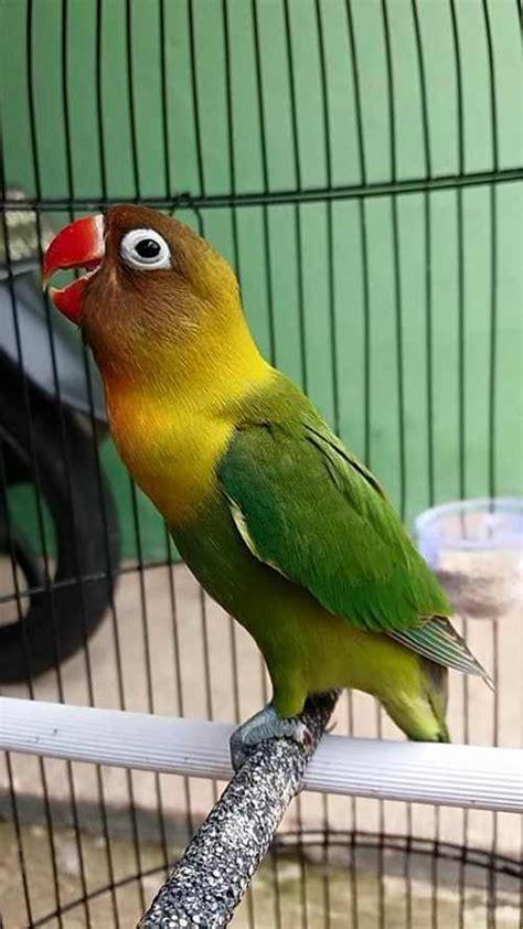 Pakan Lolohan Lovebird Balibu binatang peliharaan part 3