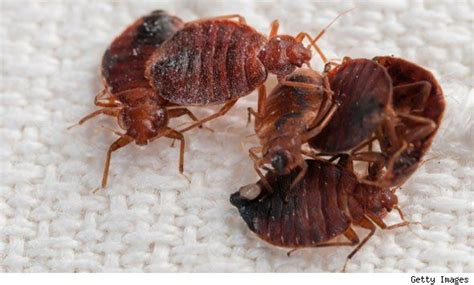 how large are bed bugs 27 best images about bed bugs on pinterest stains large