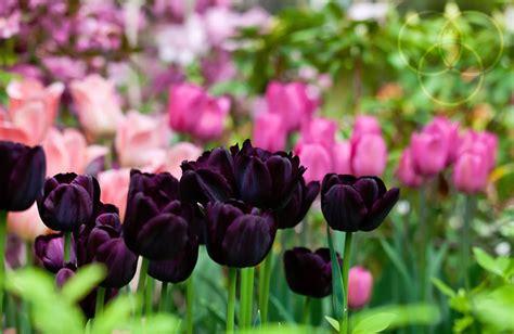 fiore tulipano nero fiore tulipano nero fiori idea immagine