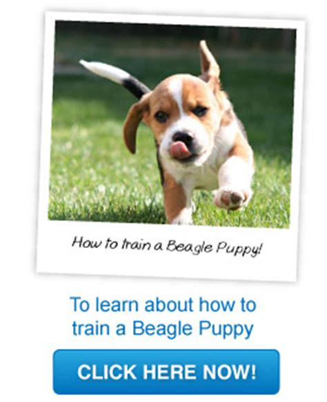 how to a beagle we beagles the ultimate guide to beagles 187 archive how to a
