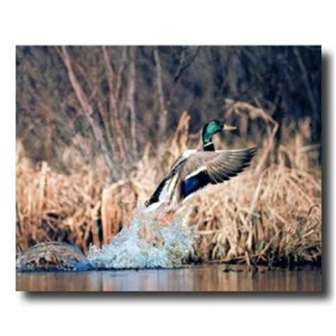 duck hunting home decor amazon com art prints inc mallard duck in flight on lake