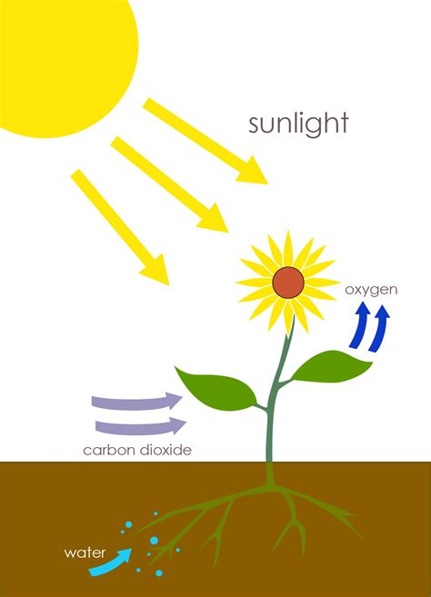 photosynthesis wikipedia