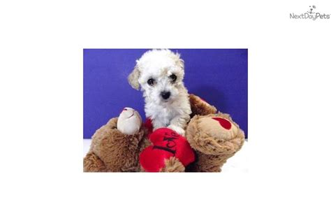 maltipoo puppies for sale in san antonio pin maltipoo puppies for sale 300 san antonio