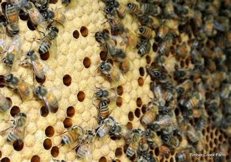 raising honey bees in your backyard top three animals homesteaders raise timber creek farm