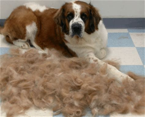 why do dogs shed exercise and dogs with diabetes animal hub