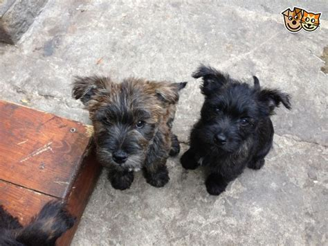 yorkie for sell westy x yorkie pups for sell last two high peak