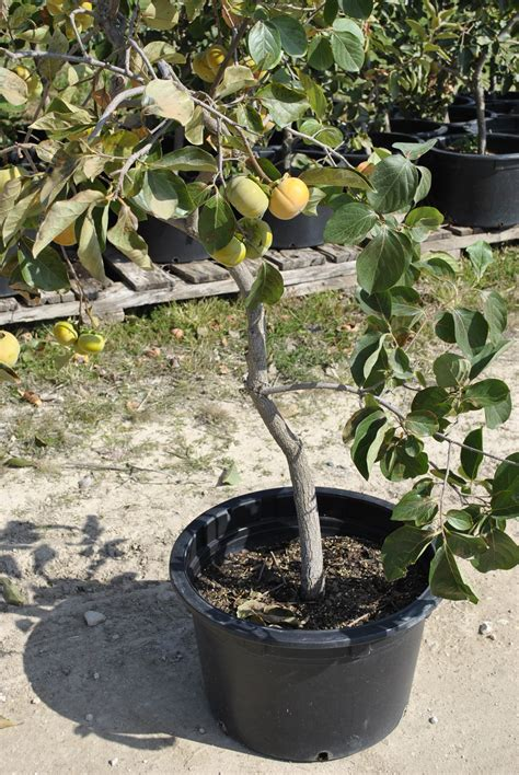 planting potted fruit trees growing fruit trees in containers part 2 stark bro s