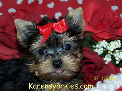 yorkie puppies for sale in wv karens yorkies yorkie puppies for sale yorky breeder has many yorky puppies yorkie