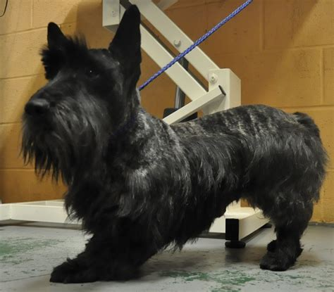 how to cut a scottish terrier on how to cut a scottish terrier scottish terrier