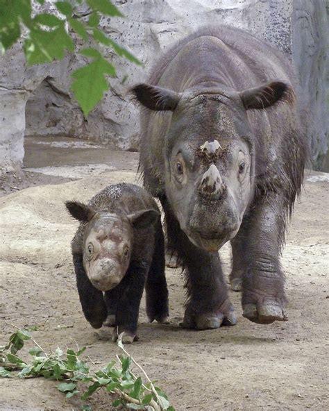 File:Sumatran Rhino.jpg - Wikimedia Commons