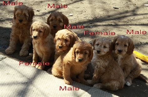 golden retriever puppies for sale in ontario golden retriever puppies for sale ontario dogs in our photo