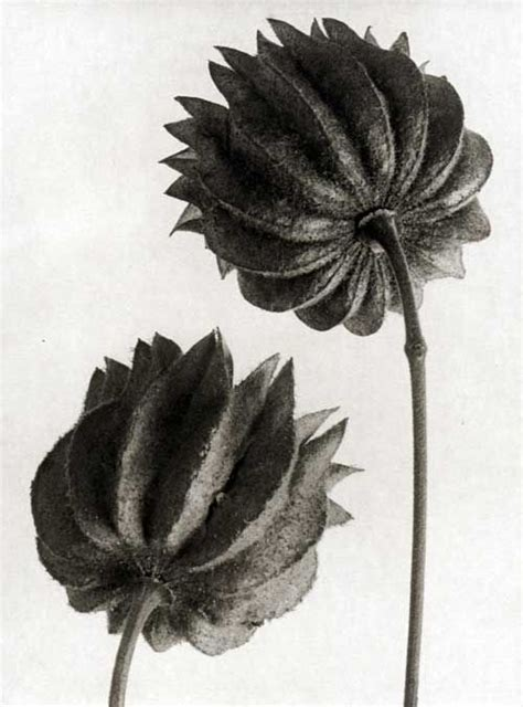 karl blossfeldt icons series the 25 best botanical flowers ideas on botanical drawings botanical illustration