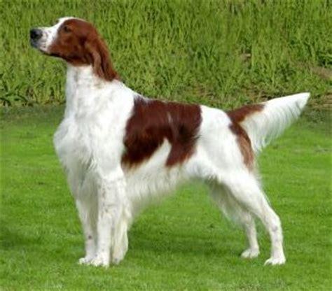 english setter dog red white lomonosov irish red and white setter dog breeds i z pinterest