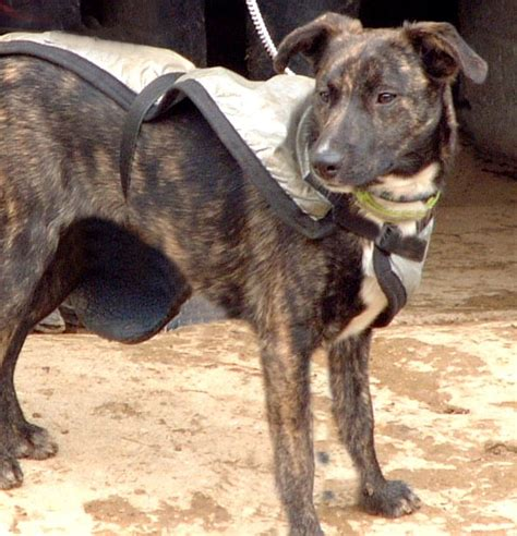brindle colored dogs brindle colored breeds breeds